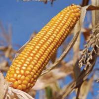 кукуруза гибрид ДКС 3705 семена