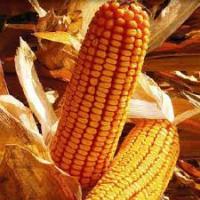 кукуруза гибрид ДКС 3811 семена