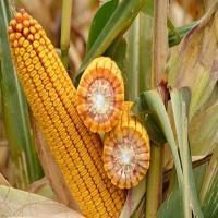 кукурудза гібрид ДКС 3969 насіння
