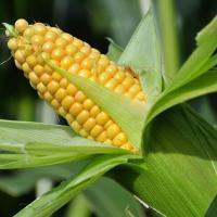 кукуруза гибрид ДКС 4014 семена