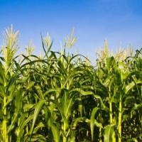 кукурудза гібрид ДКС 4351 насіння