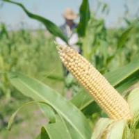 кукуруза гибрид ДКС 4408 семена