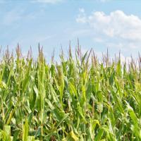 кукуруза гибрид ДКС 4490 семена