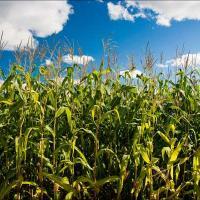 кукурудза гібрид ДКС 4590 насіння