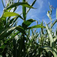 кукуруза гибрид ДКС 4608 семена