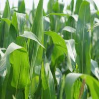 кукурудза гібрид ДКС 4685 насіння
