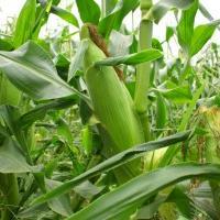 кукуруза гибрид ДКС 4717 семена