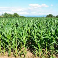 кукурудза гібрид ДКС 4795 насіння