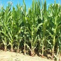 кукурудза гібрид ДКС 4349 насіння
