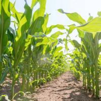 кукурудза гібрид ДКС 5007 насіння