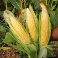 кукуруза гибрид ДКС 5141 семена