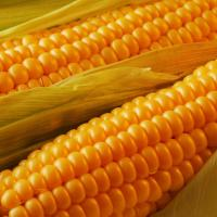 кукурудза гібрид ДН Агро фото