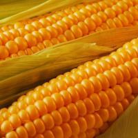 кукуруза гибрид ДН Арго фото