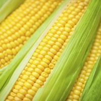 кукуруза гибрид ДН Рута фото