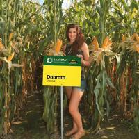 кукуруза гибрид Доброто фото