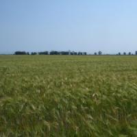 Посевной яровой ячмень семена сорт Достойный описание характеристика цена купить в Украине