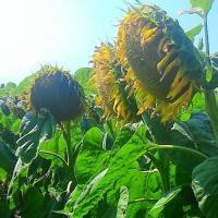 Соняшник гібрид НС Душко купити насіння