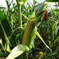 Гибрид кукурузы СИ Энермакс описание в Украине