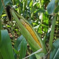 кукуруза гибрид СИ Энермакс фото