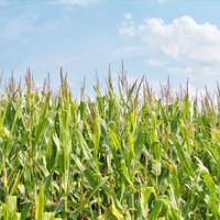Кукурудза гібрид ЄС Анамур насіння