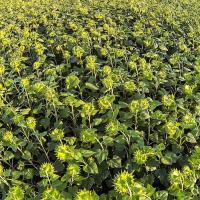 Семена Подсолнечника ЕС Андромеда от Агроэксперт-Трейд