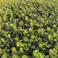 Семена подсолнечника ЕС Андромеда купить