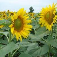 Семена подсолнечника ЕС Аркадия купить