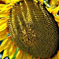 Насіння соняшнику ЄС Артик купити