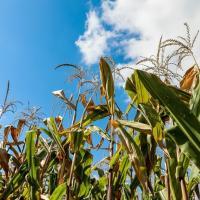 Кукурудза гібрид ЄС Астероїд насіння