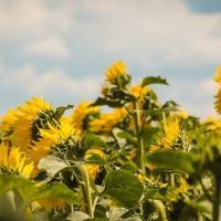 Семена Подсолнечника ЕС Белла от Агроэксперт-Трейд