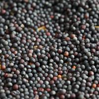 Семена рапса ЕС Дарко купить в Украине, описание гибрида, отзывы, цена, доставка