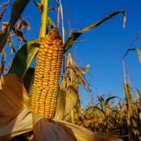 кукуруза гибрид ЕС Фарадей семена