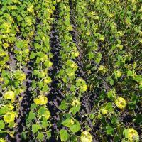 Семена подсолнечника ЕС Флоримис купить