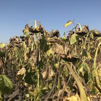 Семена подсолнечника ЕС Харди купить
