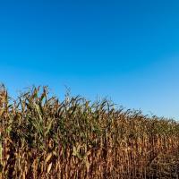 кукурудза гібрид ЄС Инвентив насіння