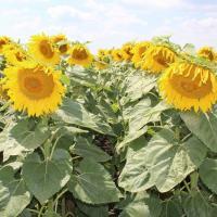 Семена подсолнечника ЕС Каприз СЛП купить