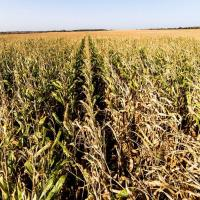 кукурудза гібрид ЄС Конкорд насіння
