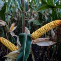 кукуруза гибрид ЕС Креатив семена