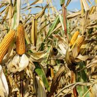 кукурудза гібрид ЄС Кроссман насіння