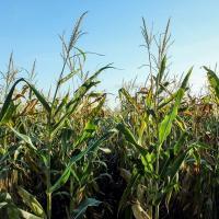 кукуруза гибрид ЕС Метод семена