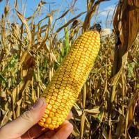 Кукурудза гібрид ЄС Мілорд насіння