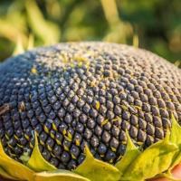 Семена Подсолнечника ЕС Монализа от Агроэксперт-Трейд