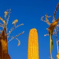 кукуруза гибрид ЕС Москито семена