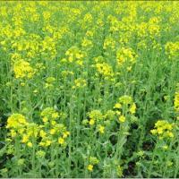 Семена рапса ЕС Сюриель купить в Украине, описание гибрида, отзывы, цена, доставка