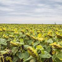 Семена Подсолнечника ЕС Петуния от Агроэксперт-Трейд