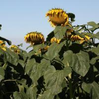 Насіння соняшнику ЄС Романтик купити