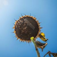 Семена подсолнечника ЕС Розалия купить