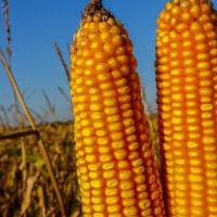 кукурудза гібрид ЄС Сенсор насіння