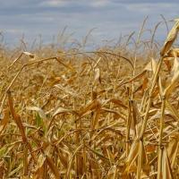 Кукурудза гібрид ЄС Сіріус насіння