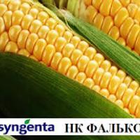 кукуруза гибрид НК Фалькон фото